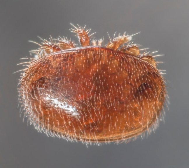 72088969 - varroa destructor bee parasite - microscope photo